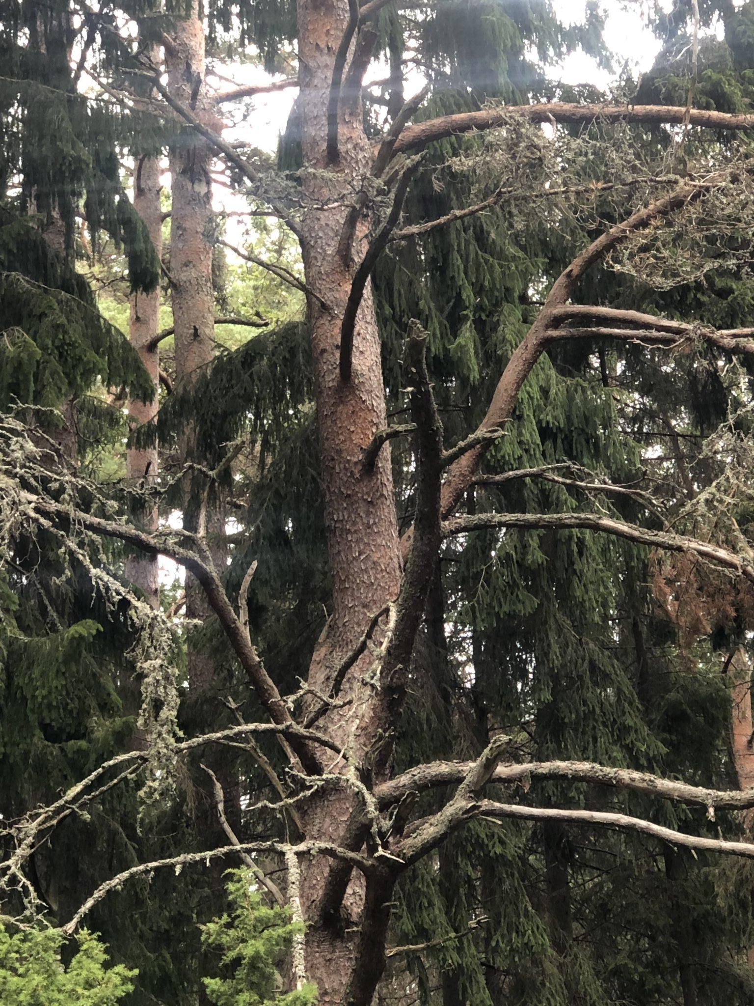 Auf Hiiuma in Estland gibt es richtigen Urwald ein riesiger Baum