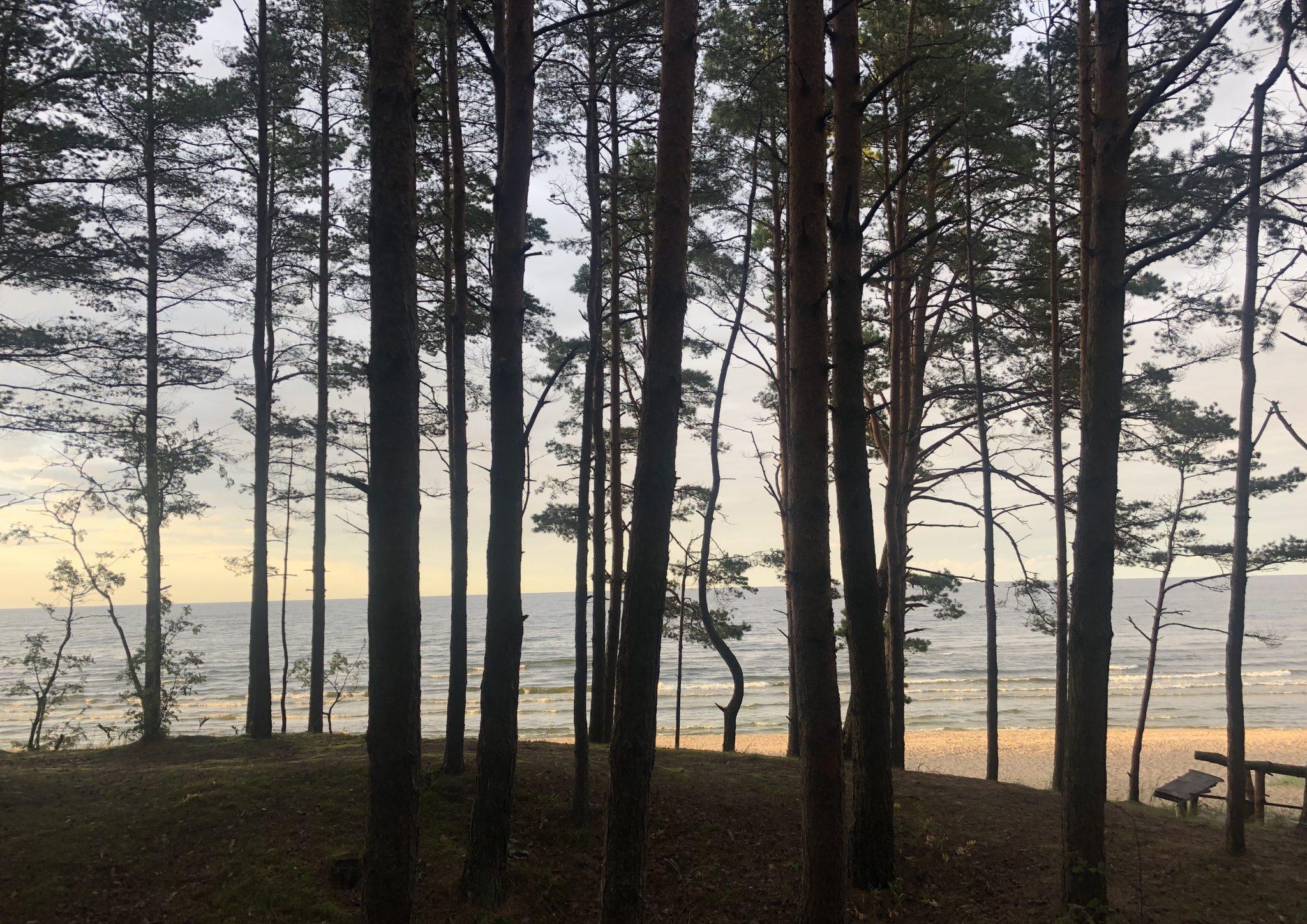 Blick durch Birken auf den Strand von Jūrmala.