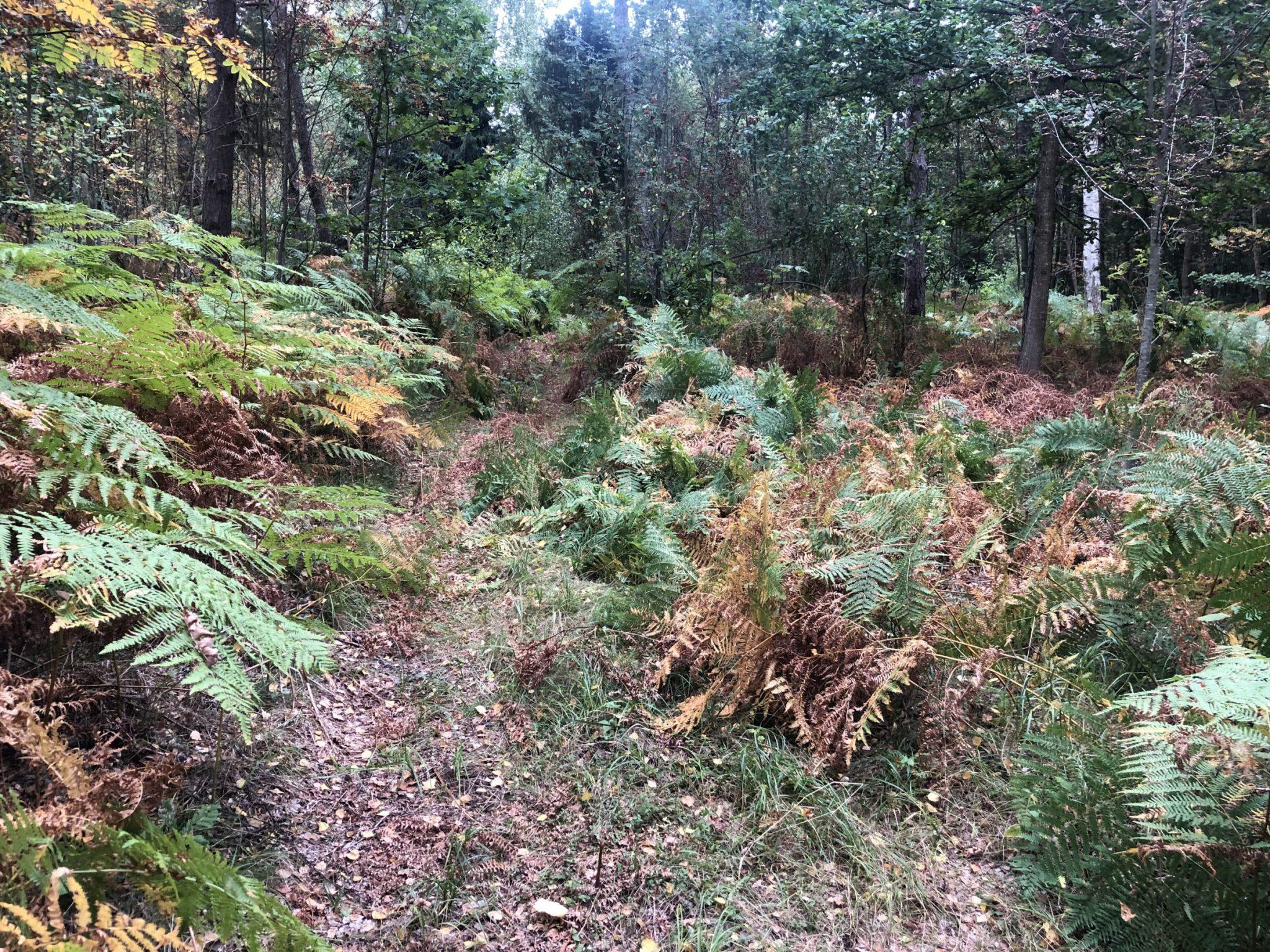 Der Farn steht mannshoch im Urwald von Pape Nationalpark an der kurischen Nehrung