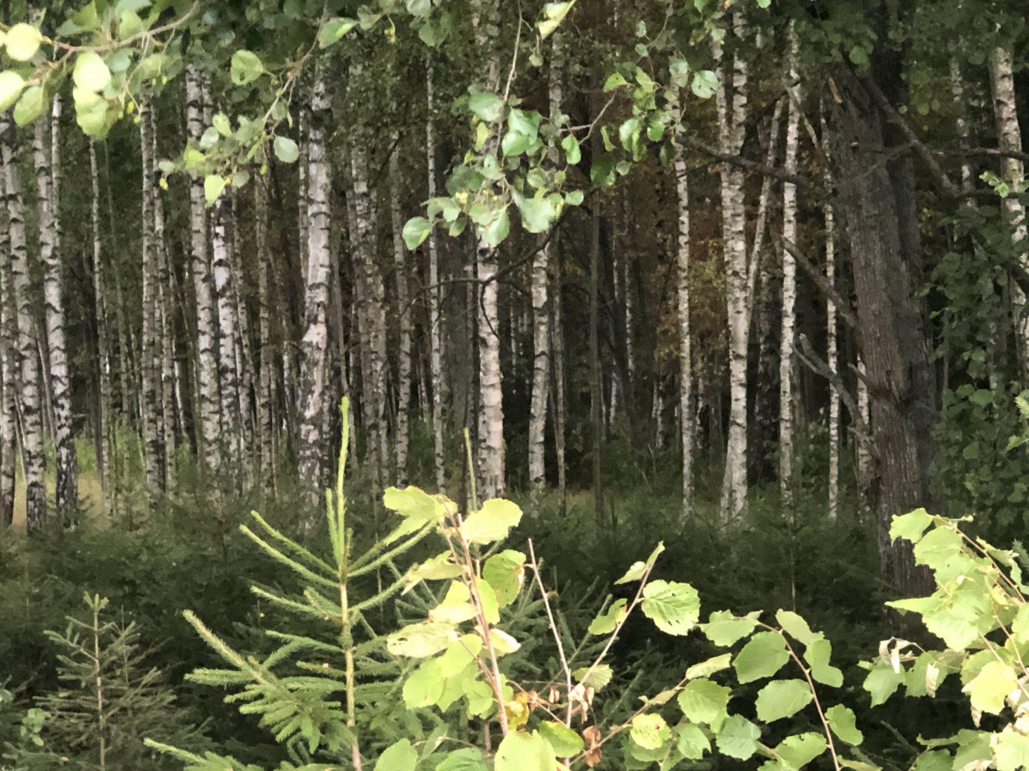 Mischwald mit Birken und Farn und Unterholz an der kurischen Nehrung in Pape