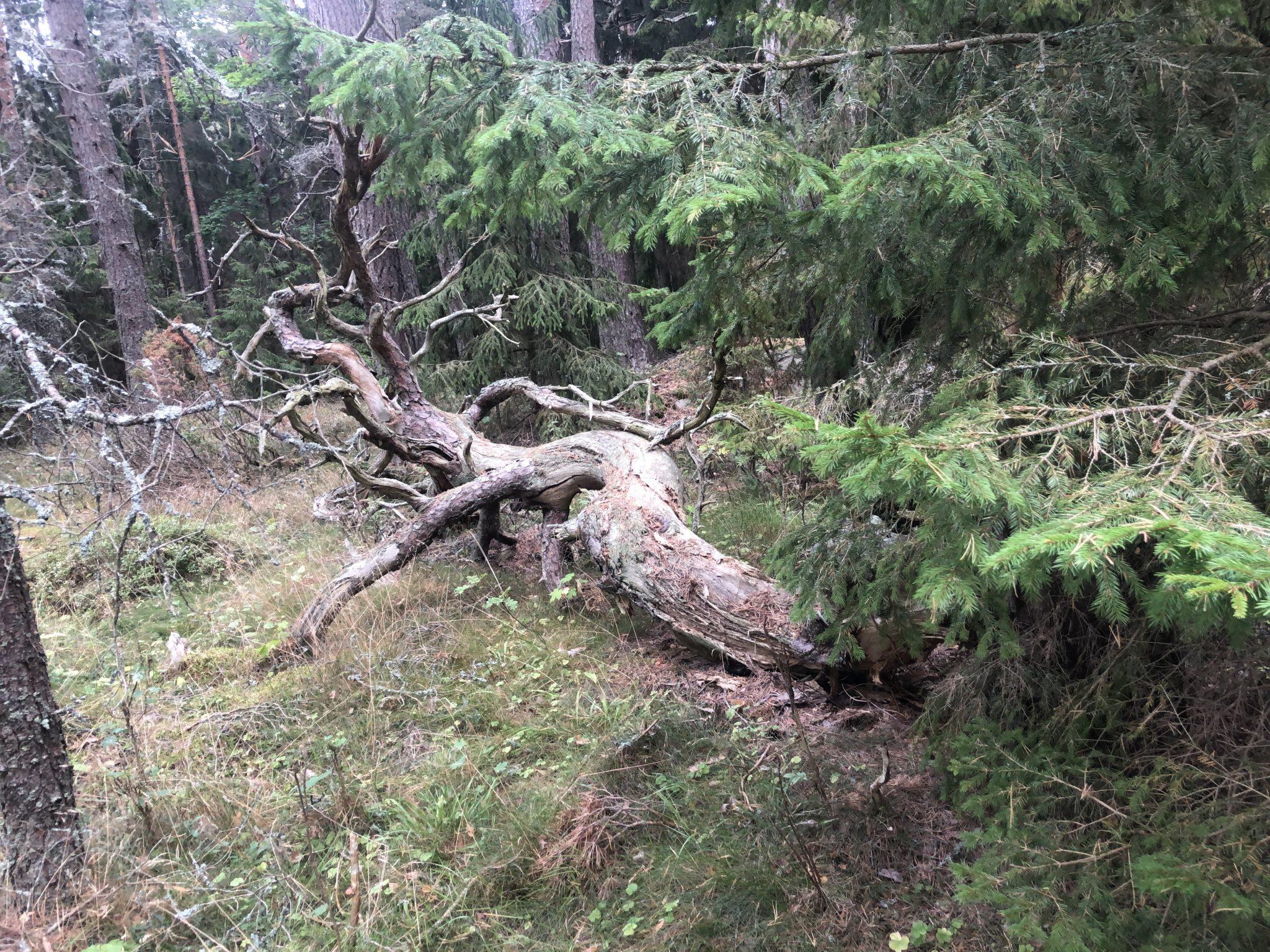 Umgestürzter Baum im Wald von Hiiumaa